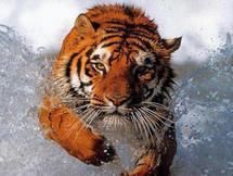 Les tigres de la colère sont plus sages que les chevaux du savoir.