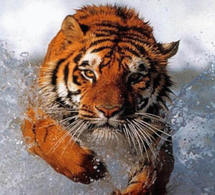 MANIFESTATION 28/01/2011 : Les tigres de la colère sont plus sages que les chevaux du savoir.